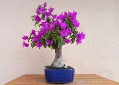 Mis bonsais y mis aficiones: bugambilia