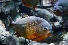Red bellied Piranha by Gregory Moine cc2.0 The red-bellied piranha is preceded by its fearsome reputation. Most of us know them as fish that can tear the flesh off bones in a matter of seconds. This, however, isn't necessarily true. Red-bellied piranhas are mostly scavengers, so their diet consists mainly of dead and dying animals. Although they have a reputation of being very aggressive, they are very sociable…