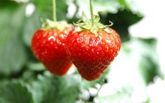Strawberries Ready to be Picked