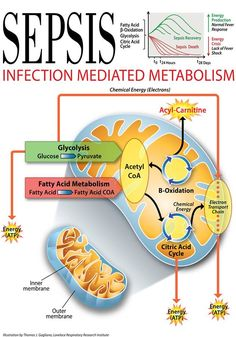 Sepsis leads to an energy crisis that appears to be linked to decreased energy production due to problems in fatty acid beta-oxidation and the citric...