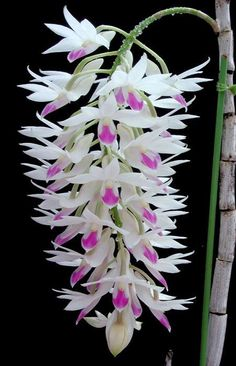 Dendrobium Amethystoglossum Oh my! I am in love with this beauty.
