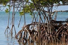 Mangrove tree root system
