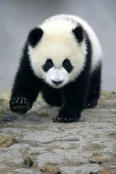 Giant Panda Bear Facts | Endangered Animals