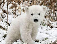 Nous, les bébés animaux - Les ours polaires - Dimanche 21 Août à 8h45