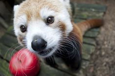 Adopt a red panda at the Philadelphia Zoo.