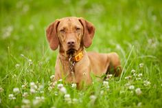 Vizsla dog in field