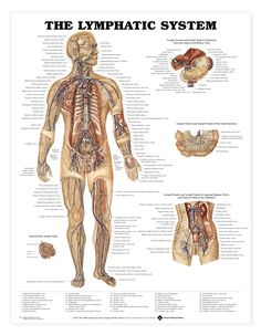 The Lymphatic System Anatomical Chart / Poster