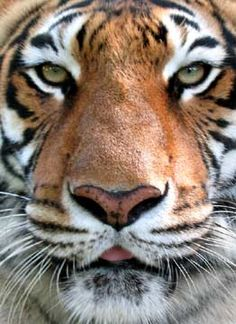 Bengal tiger, i did a sketch of this pic.. love this pic.