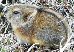 ancient collared lemmings - Google Search