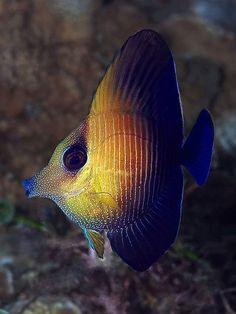 Now, this is a funny looking fish! Juvenile Brushtail Tang by Doug.Deep #tropicalfishtank #TropicalFishKeeping