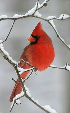 """Beautiful Snow Cardinal - My father loved Cardinals. When they would come into the yard he said, """"Look at that speck of red!"""" They are beautiful birds and I always think of my dad when I see one! Pretty Birds, Love Birds, Beautiful Birds, Animals Beautiful, Simply Beautiful, Bird Pictures, Animal Pictures, Photos Of Birds, Cardinal Pictures"""