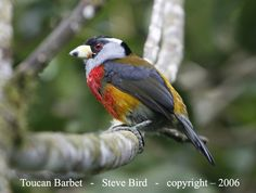 Barbet Bird | The Toucan Barbet was previously classified as just a Barbet... not a ...