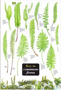 Great little chart to help kids identify ferns in the forest or local park/garden.