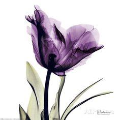 Royal Purple Parrot Tulip Prints by Albert Koetsier at AllPosters.com