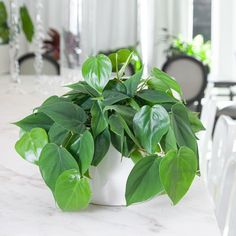 It's hard to look at the Philodendron Heart Leaf and not smile. This lush houseplant can thrive in both low and bright indirect light. Let the vines trail or prune it to maintain a full, bushy look. Hanging Plants, Indoor Plants, Pothos Plant, Succulent Soil, Palm Plant, Iron Plant, Plant Lighting, Jade Plants, Grow Organic