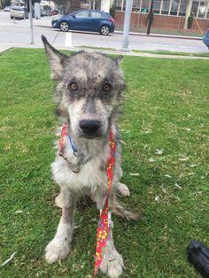 The amazing story of Julia, a wolf-dog hybrid