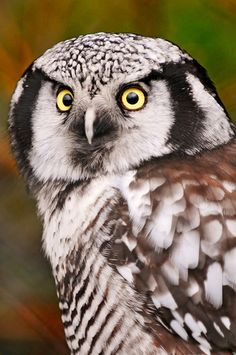 Hawk Owl - Another gorgeous bird living in the zoo of Zürich. Owl Photos, Owl Pictures, Owl Pics, Beautiful Owl, Animals Beautiful, Nocturnal Birds, Burrowing Owl, In The Zoo, Tier Fotos