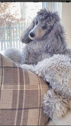 Beautiful grey Standard Poodle