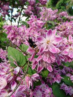 Our resident wildlife-gardening expert, Adrian Thomas, has discovered a new plant with some serious pulling power with pollinating insects - we give you the deutzia! #homesfornature