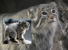 Meet manul (also known as Pallas's cat) . the most awesome feline in the world. Felis Manul, Manul Cat, Black Footed Cat, Pallas's Cat, Le Zoo, Cat Species, Jungle Cat, Unusual Animals, Gatos