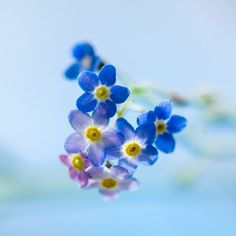 Forget-me-not Photo by Liz Andersen -- National Geographic Your Shot
