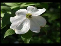 Dogwood in Bloom: Deep East Texas Piney Woods - Pixdaus Lone Star State, Worship God, Garden Photos, Roots, Texas, Bloom, Deep, Flowers, Palestine
