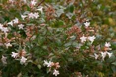 Image result for abelia glossy