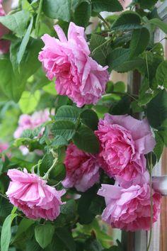 Rosa francofurtana 'Empress Joséphine' (Impératrice Joséphine, L'Imperatrice Josephine, Souvenir de l'Imperatrice Josephine)   Zon V. En mycket eftersökt, rikligt blommande gammaldags buskros med ett attraktivt växtsätt, dekorativt mörkgrönt bladverk. Få, små taggar. Blommorna är tätt fyllda, skålformade i mättad rosa nyans med en ljusare ton utåt och vågiga kronblad likt silkespapper. Skuggtålig. Kan även användas som häck. Uppkallad efter Napoleons gemål. 1.5x1.2m. Descemet (Frankrike…