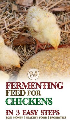 Fermenting chicken feed for your backyard chickens is a great way to save money on their food. Fermented feed can be fed for your hens, baby chicks, egg layers, broilers or meat chickens. A chicken raising skill for beginners or a chore for kids. Best Egg Laying Chickens, Baby Chickens, Keeping Chickens, Meat Chickens, Raising Chickens, Chickens Backyard, Backyard Farming, Portable Chicken Coop, Best Chicken Coop