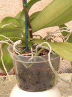 Growing Indoor Orchids
