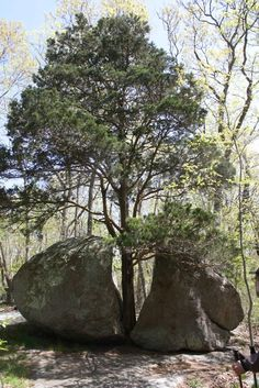 A picture I took of a tree growing through a rock in Guilford's West Woods.