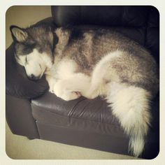 Wonderful All About The Siberian Husky Ideas. Prodigious All About The Siberian Husky Ideas. Giant Alaskan Malamute, Alaskan Husky, Malamute Puppies, Husky Puppy, I Love Dogs, Cute Dogs, Beautiful Dogs, Dogs And Puppies, Doggies