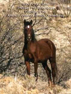 Wilbur-Cruce Colonial Spanish Horse