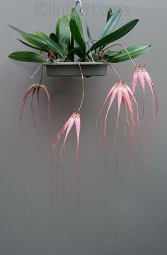 "Bulbophyllum Elizabeth Anne ""Buckleberry"" FCC / AOS (longissimum x rothschildi . Bulbophyllum Elizabeth Anne 'Buckleberry' FCC/AOS (longissimum x rothschildianum) {Hybrid} to add to the living wall, Unusual Plants, Exotic Plants, Cool Plants, Exotic Flowers, Air Plants, Garden Plants, Indoor Plants, Beautiful Flowers, Indoor Gardening"