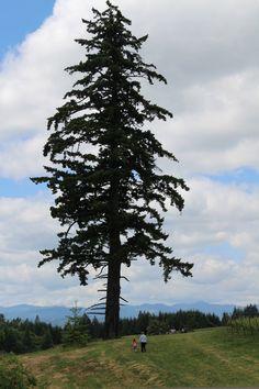 9 best douglas fir tree old growth named big doug. Black Bedroom Furniture Sets. Home Design Ideas