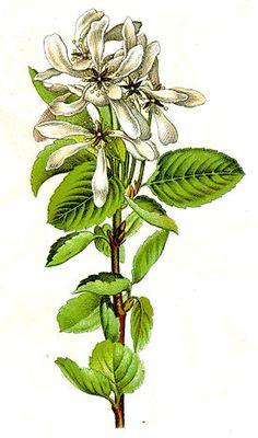 Amelanchier vulgaris Sturm10.jpg