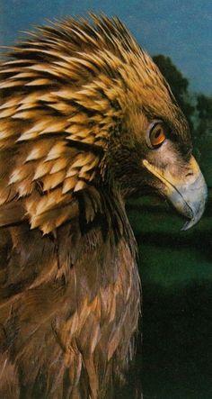 golden eagle (photo by halex)