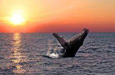 Humbpack whales playing in the Bora Bora lagoon