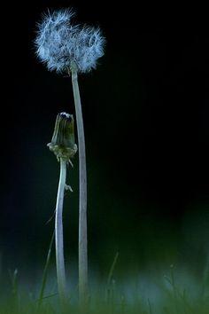 Title:  Child Of The Dandelion  Artist:  Scott Terry  Medium:  Photograph