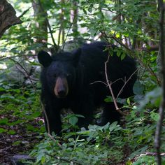 """Discovered by Eli Ditmore, """"We saw our first bear and by the time we reached the other end of the park we had come across 16 bears. I was lucky to get in front of a few them for photos. Normally in the woods you'll end up sneaking up on them and all you see is their butt as they run off. It took a few days of hiking with my camera at ready to make sure that I was able to get at least one shot when opportunity was there."""" at Shenandoah National Park, Rockingham County, Virginia"""