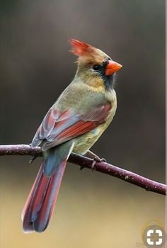 "Female Northern Cardinal (Cardinalis cardinalis) ~ Mik's Pics ""Fowl Feathered Friends V"" board Pretty Birds, Beautiful Birds, Animals Beautiful, Cute Animals, All Birds, Little Birds, Love Birds, Exotic Birds, Colorful Birds"