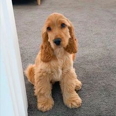 Golden Cocker Spaniel Puppies, American Cocker Spaniel, Cocker Spaniel Dog, Fluffy Animals, Cute Animals, Dog Ear Cleaning Solution, Shiba Inu, Cute Dogs And Puppies, Doggies