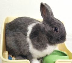 Nom  MBR  #rabbit #bunnies #webstapets #rabbitgram #cuteanimals  #dwarfrabbit  #animalgram #netherlanddwarf #rabbitofinstagram #rabbitoftheday #misterbluerabbit #mbr #cuteanimals #photoofday #instarabbit #pet #petworld #animalphotography #petstagram #babyanimals #cutepetclub #bunnystagram  #kawaii  #instapet #fabbunnies #rabbitworldwide #rabbitstagram @babyanimalshq @babyanmlpage @cutestthingsthereis #babyanimalpets  #animaladdicts #my_perfect_pet