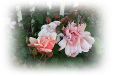 Roses  http://dewaddentuun.blogspot.nl