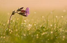 Blume Blumen Blüte Flares Gegenlicht Gras Lichtnelke morgenlicht morgens Pflanze Pflanzen reflexe Silene dioica Sommer tau Tautropfen Wiese