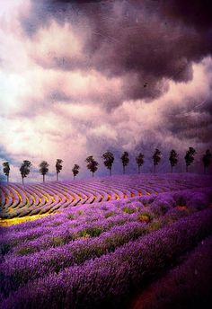 Lavender fields - By Barbara Florczyk.