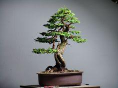 Picea Abies / European Spruce