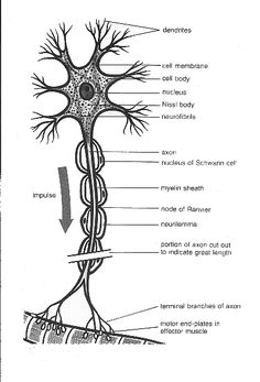 Different types of neurons. (A) Multipolar neuron. (B