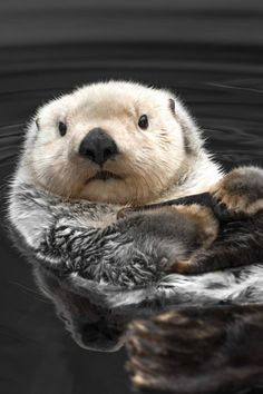 Sea Otter Print Cute Animal Photography Animal Print Otter Art Sea Otter Photography Informations About Seeotter-Druck, niedliche Tierfotografie, Tierdruck, Otter-Kunst, … The Animals, Nature Animals, Cute Baby Animals, Funny Animals, Animals Planet, Animal Faces, Otter Meme, Animals Crossing, Wild Animals Photography