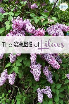 The scent and flowers of a Lilac bush are a welcome sign of spring. The 2 requirements for lilac bushes are well-drained soil and full sun. Horticulture, Lilac Bushes, Trees And Shrubs, Flowering Shrubs, Dream Garden, Lawn And Garden, Garden Inspiration, Color Inspiration, Beautiful Gardens